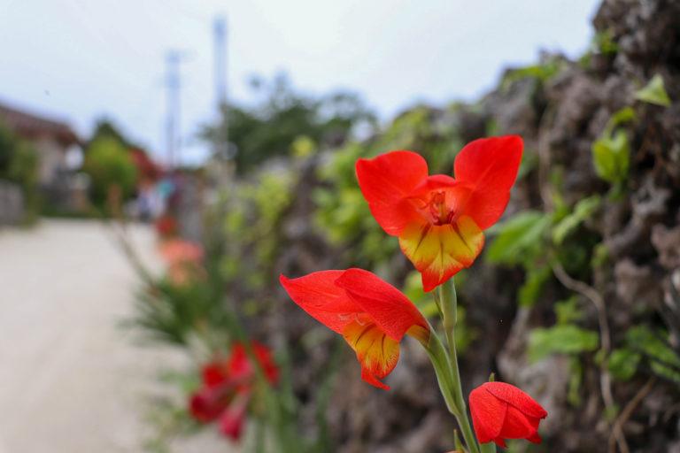 沖縄 竹富島 赤い花