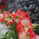 沖縄 竹富島の赤いユリ 2