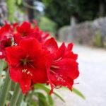沖縄 竹富島の赤いユリ 3