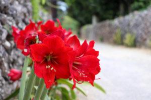 沖縄 竹富島の赤いユリ