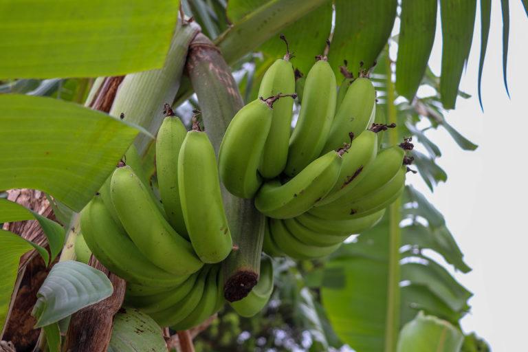 沖縄 竹富島のバナナの木