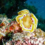 黄色いフリルのうみうし アカテンイロウミウシ