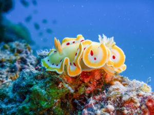 沖縄 石垣島ダイビング アカテンイロウミウシ