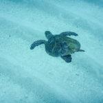 海底を泳ぐウミガメ
