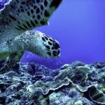 海底にいるアオウミガメ