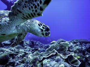 アオウミガメとダイビング