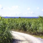 古宇利島のさとうきび畑