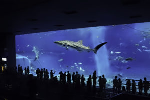 沖縄美ら海水族館 大水槽ジンベイザメ