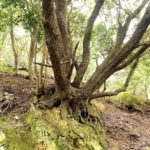 友が島 斜面にしっかり根を張る樹木
