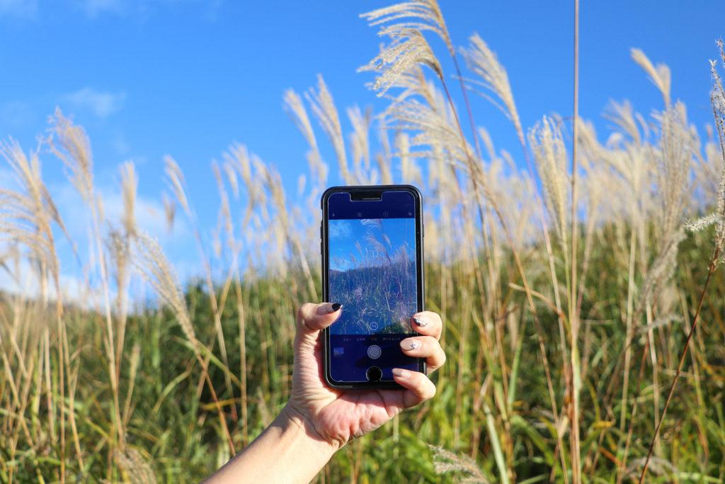 すすきをスマートフォンで撮影
