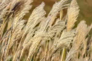黄金の穂が風になびくすすき