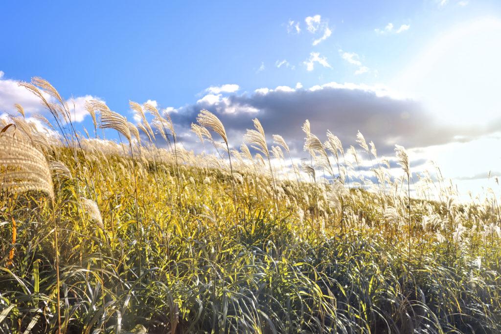 高原の斜面で風になびくすすき