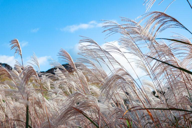 秋風が吹く高原のすすき