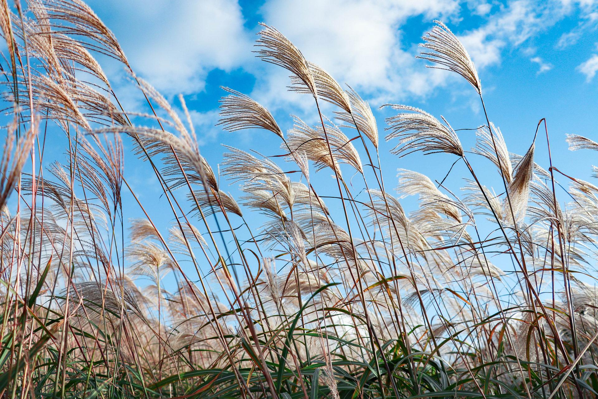 秋空の風になびくすすき