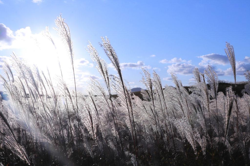 青い空と日差しの中のすすき