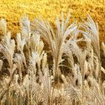 金色に染まる高原とすすき