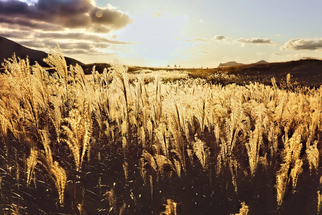 夕日で一面金色のすすき