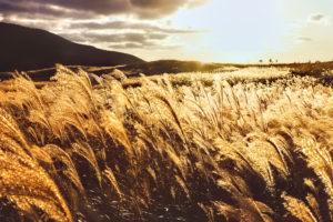 夕暮れ時に風になびく黄金のすすき