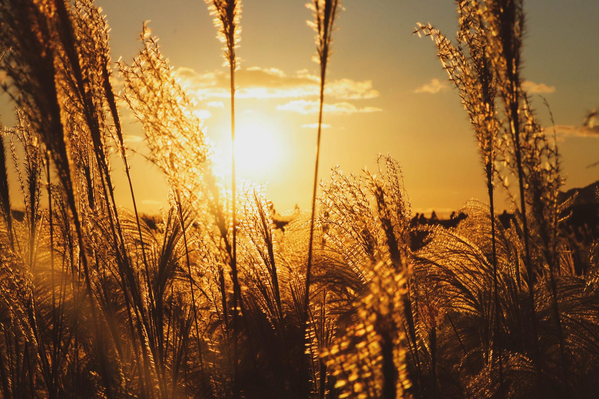 落ちゆく夕日とすすき