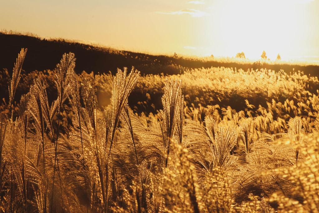 辺り一面が金色に染まる瞬間のすすき