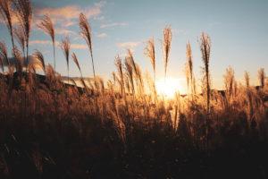 沈む夕日とすすき