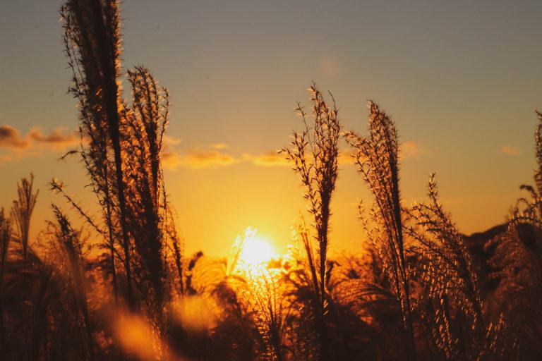 すすきの間に沈む夕日