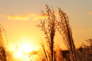 夕日に照らされるすすきの穂