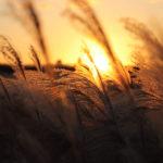 黄金色に輝く夕日とすすき