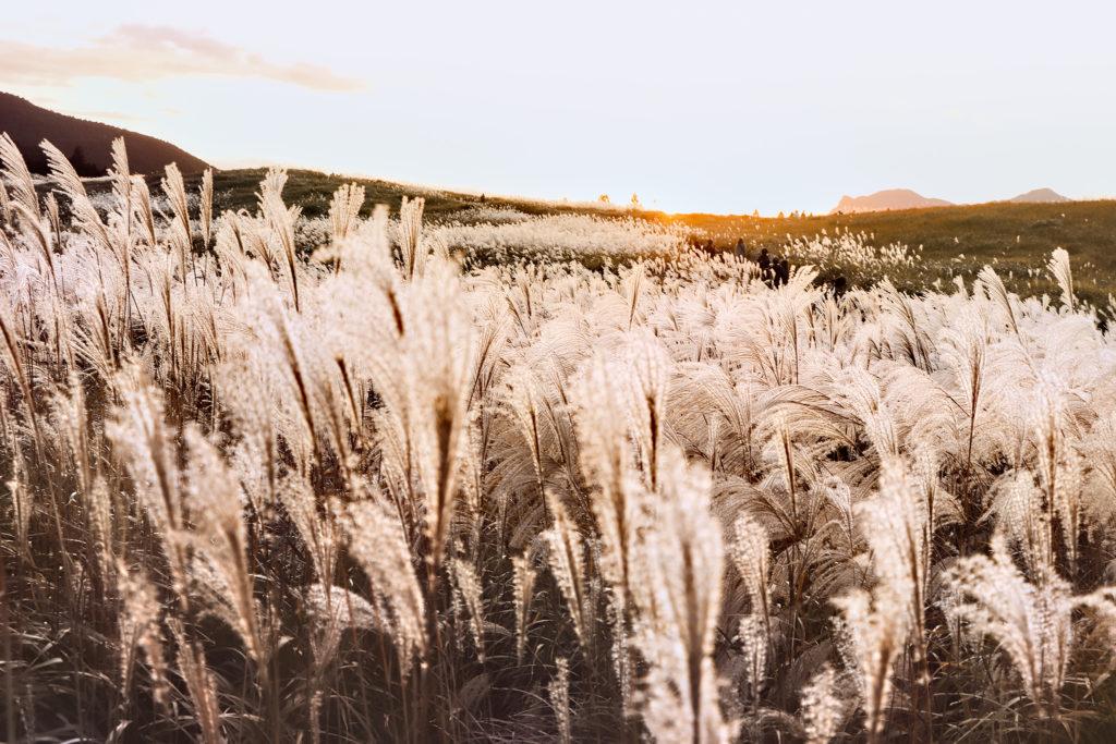 すすきの草原
