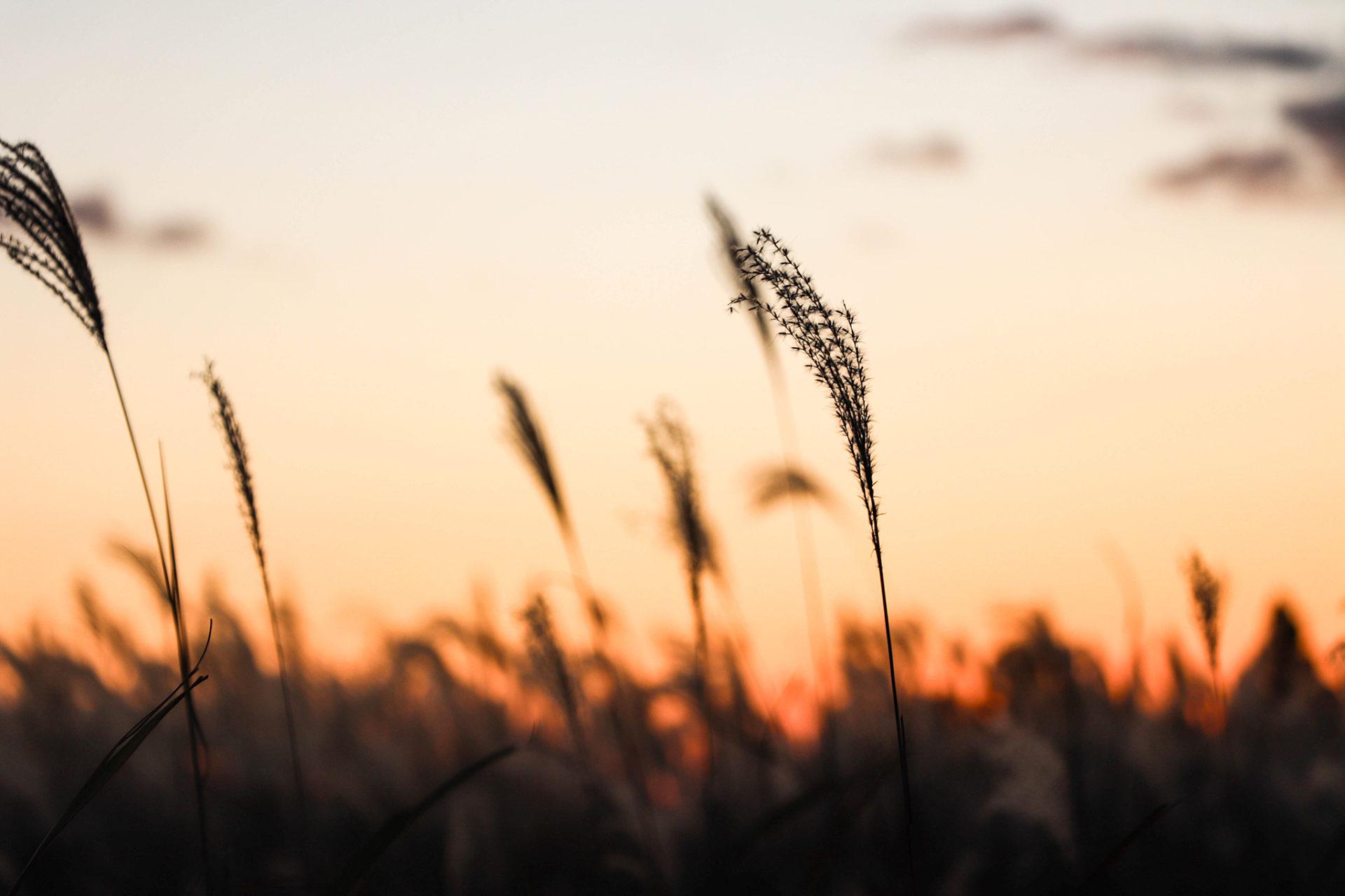 日が落ちて寂しい雰囲気の高原のすすき
