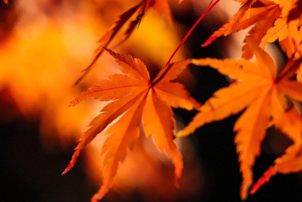 夜の闇にライトアップされた紅葉