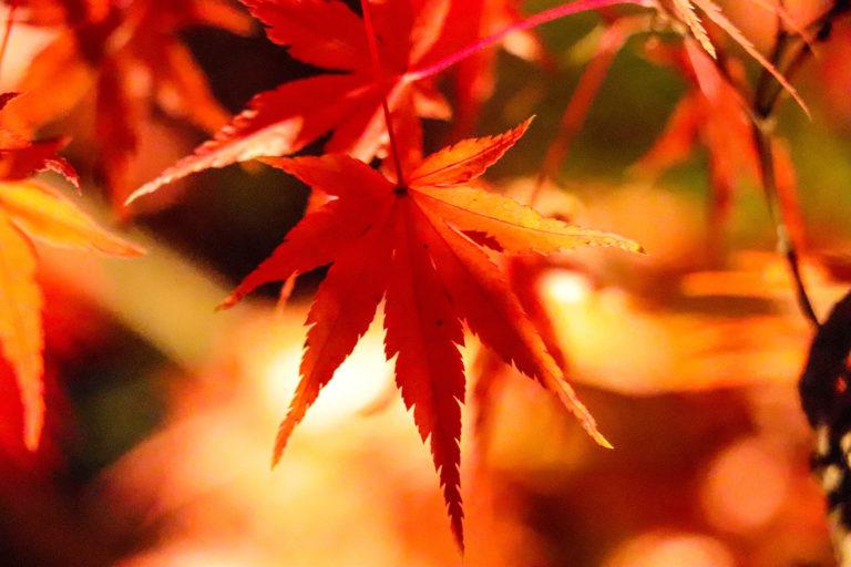 光に照らされるもみじの葉