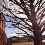 倉敷美観地区 アイビースクエア メタセコヤの木
