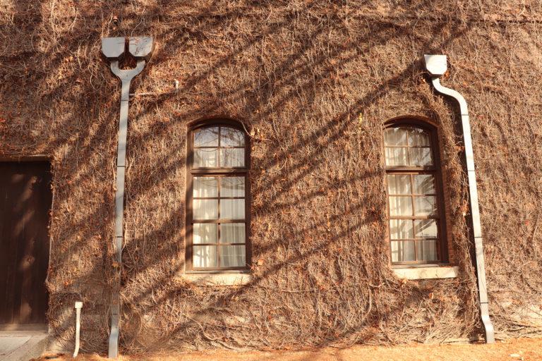 倉敷美観地区 アイビースクエア 冬の枯れたアイビーと窓
