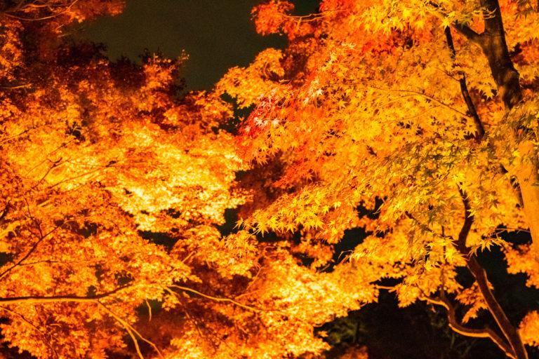 ライトアップされたオレンジ色の紅葉