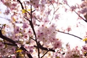 太陽の光に透ける桜