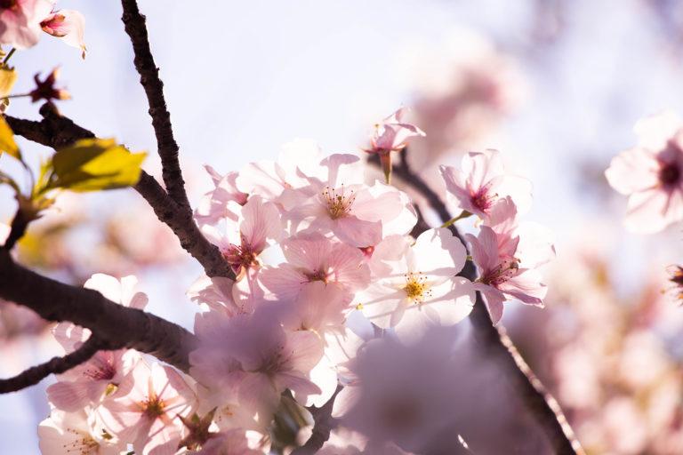 春の日差しの中の桜