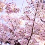ピンク色に染まる桜