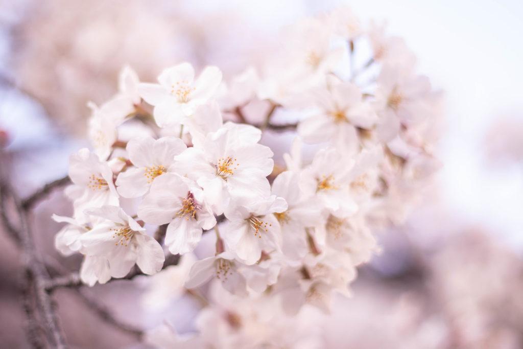 咲き誇る桜の花