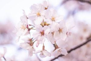 ふわっと咲いている桜