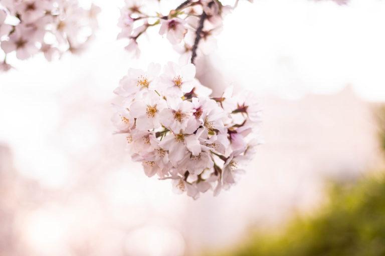 こぼれそうに咲くサクラ