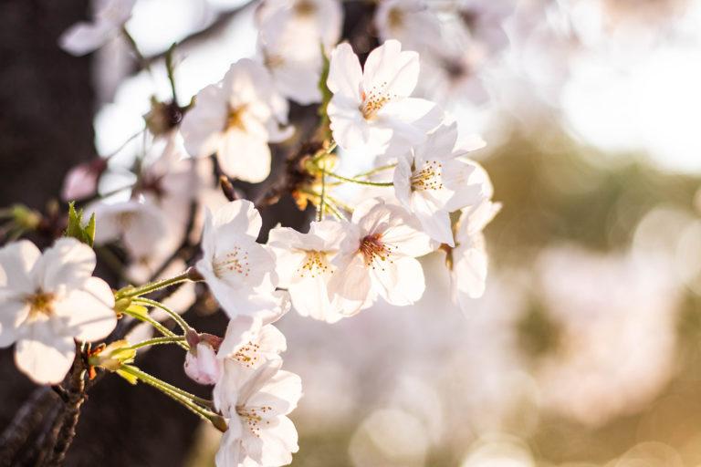 春の陽射しを浴びるサクラ
