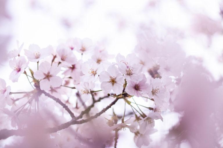 一面をピンクに染める満開の桜
