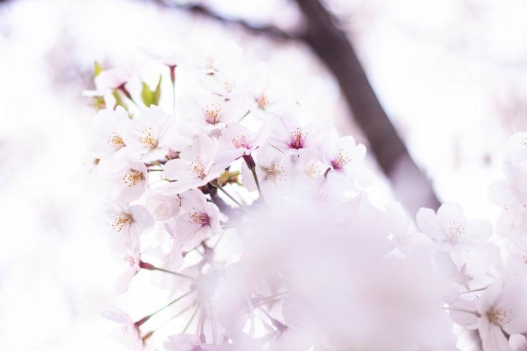 幻想的な桜の花