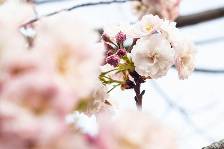 八重桜のつぼみと花