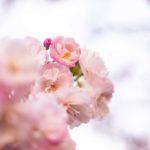 ピンク色が美しい八重桜