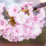 満開に咲き誇る八重桜