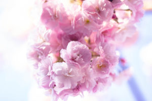 幻想的に咲くピンクの八重桜