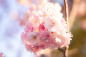 柔らかい日差しと八重桜の花