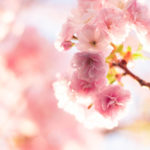 春の暖かい陽射しの中で咲く八重桜